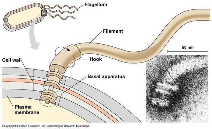 diagram of anatomy of lungs module 2 ndash kingdom monera applie s place