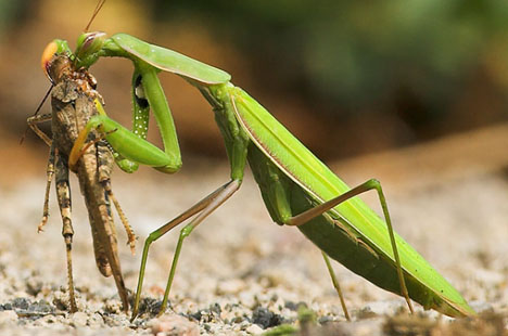 From About.com we read this about Praying Mantis: