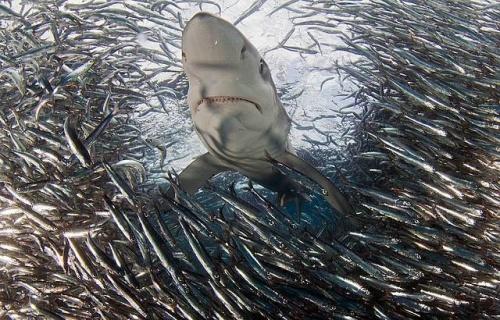 shark sardines