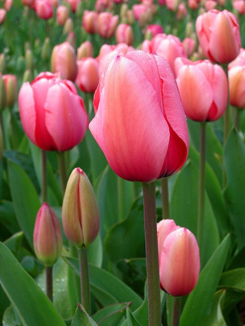 640px-Tulip_-_floriade_canberra