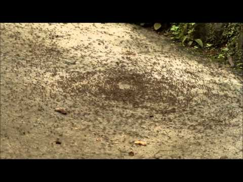 Army Ant Death Circle