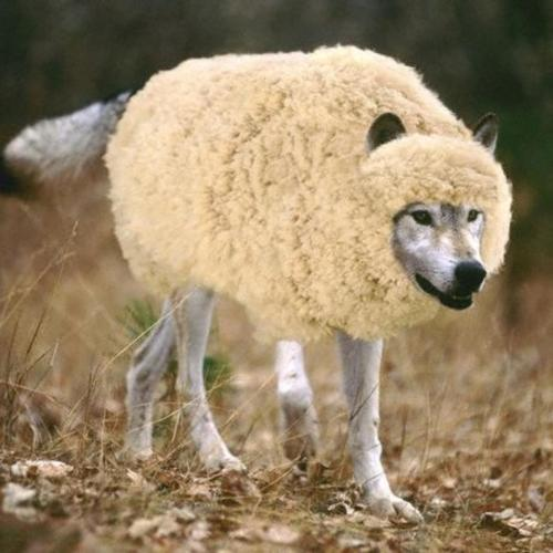 wolf-in-sheeps-clothing-1